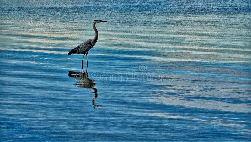 Uccello nel mare nel mare fotografia stock