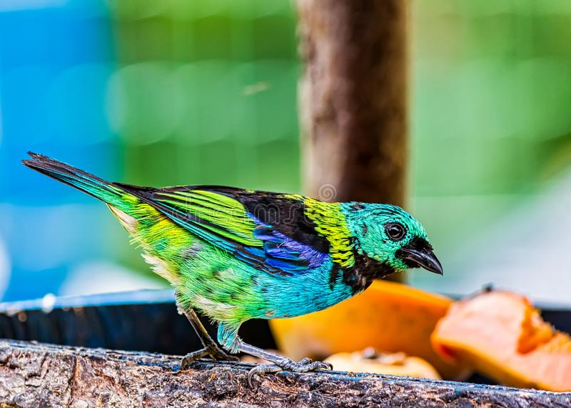 Uccello nell'alimentatore dell'aria aperta, uccello tipico dei SaÃra-sete-centri del seledon di Tangara della foresta atlantica n immagini stock libere da diritti