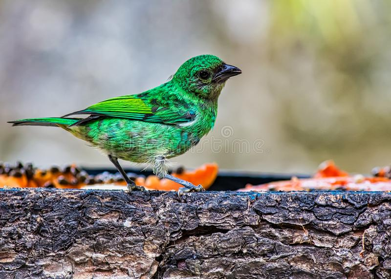 Uccello nell'alimentatore dell'aria aperta, uccello tipico dei SaÃra-sete-centri del seledon di Tangara della foresta atlantica n fotografia stock libera da diritti
