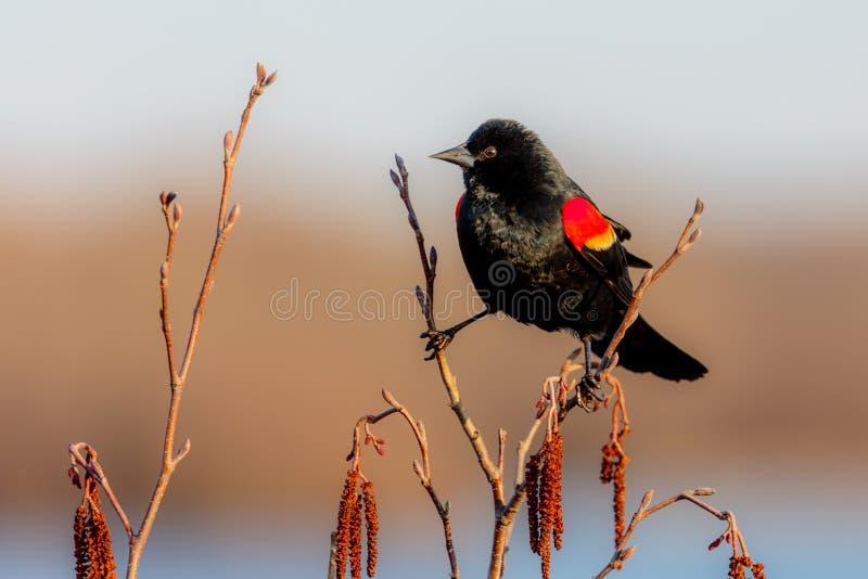 Uccello nero ad ali rosse maschio sul ramo fotografie stock