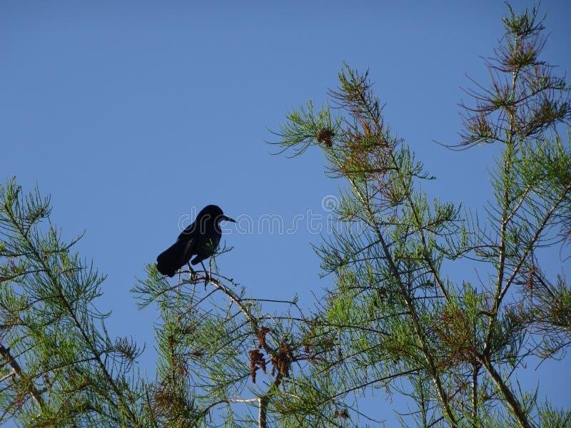 uccello nero appollaiato immagini stock