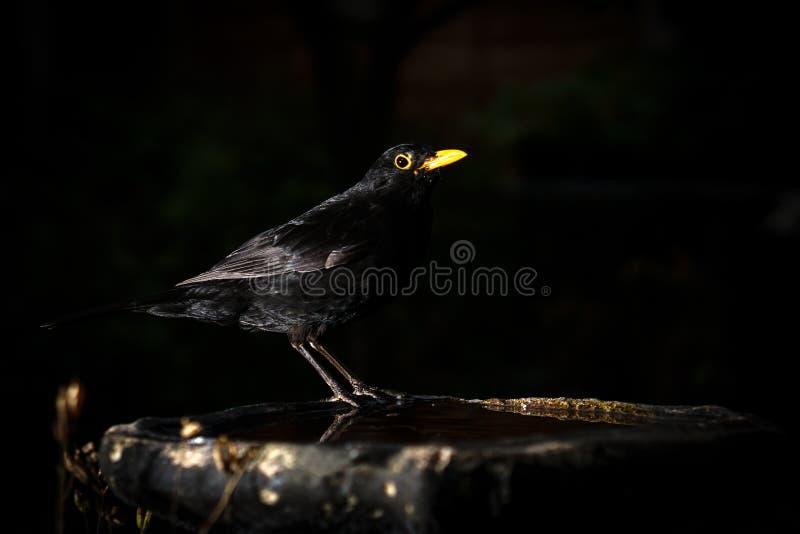 Uccello nero appollaiato su un bagno di volatili immagine stock libera da diritti