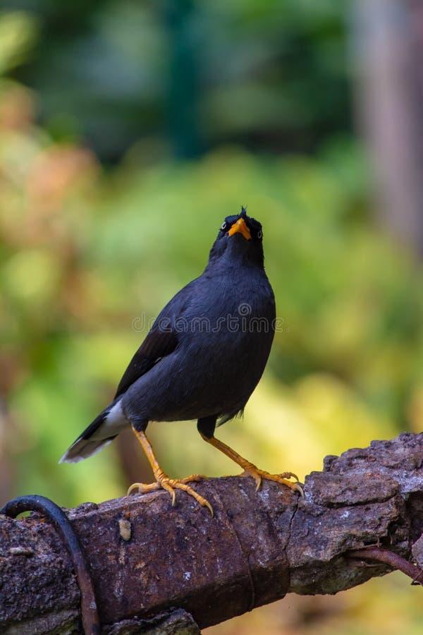 uccello nero dello storno fotografia stock