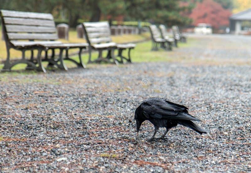 Uccello nero nel parco di autunno fotografia stock libera da diritti