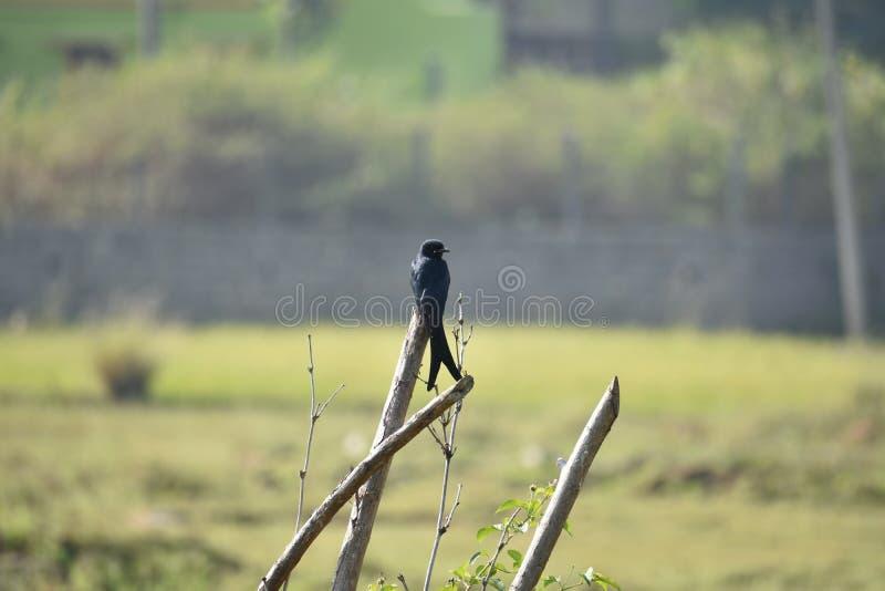 Uccello nero solo sul gambo immagini stock libere da diritti