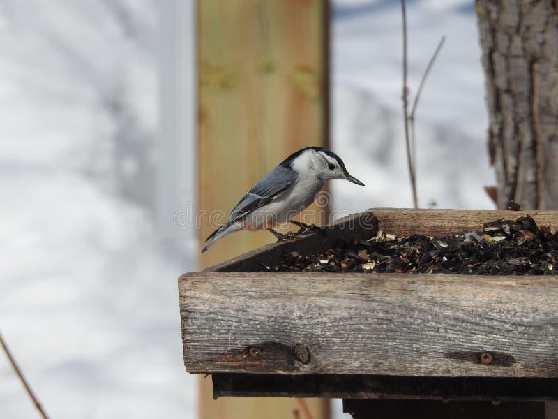Uccello Ontario Canada della sitta immagine stock