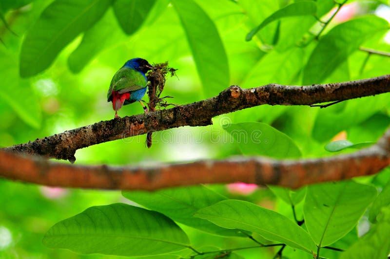Uccello, Pappagallo-fringillide di Tricolored fotografie stock