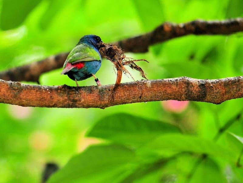 Uccello, Pappagallo-fringillide di Tricolored sul ramo immagini stock libere da diritti
