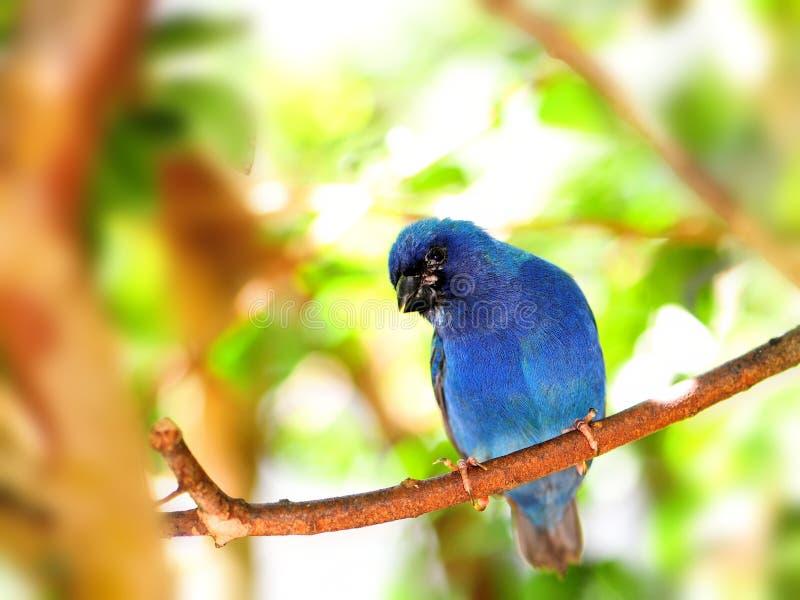 Uccello, Pappagallo-fringillide di Tricolored sul ramo di albero immagini stock