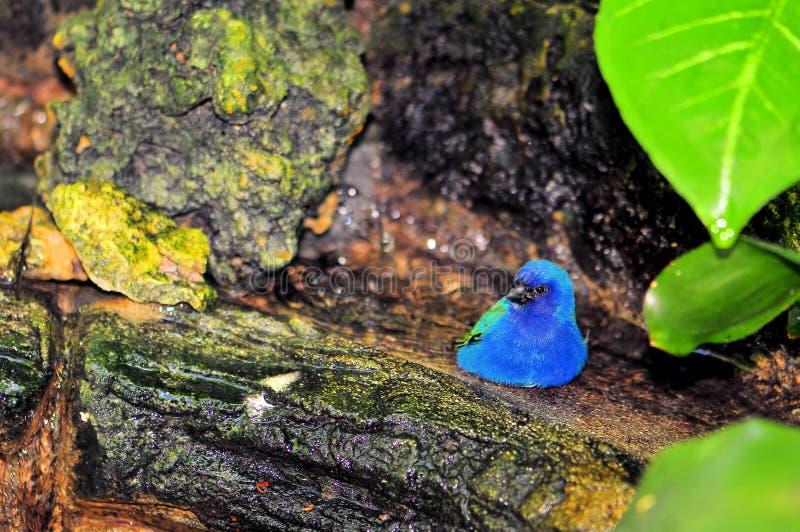Uccello, Pappagallo-fringillide di Tricolored in uccelliera immagine stock libera da diritti