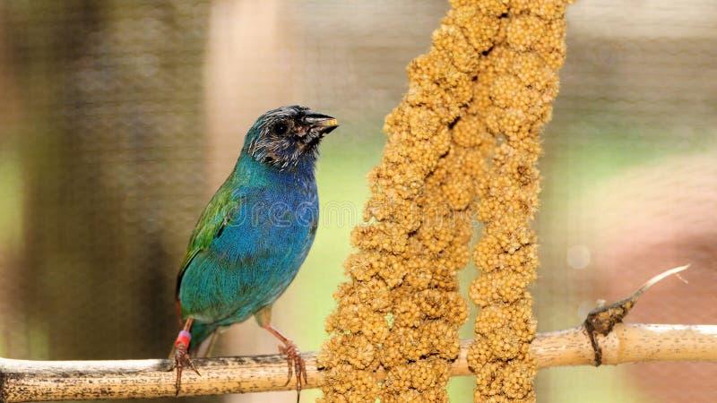 Uccello, Parrotfinch Blu-affrontato immagini stock