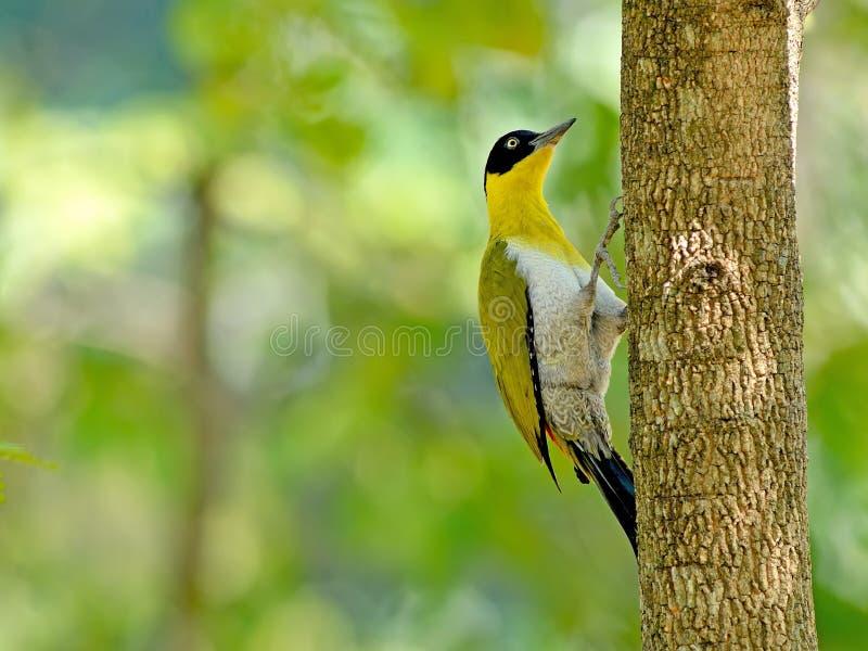 Uccello (picchio con testa nera), Tailandia immagini stock libere da diritti