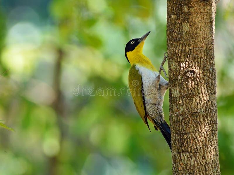 Uccello (picchio con testa nera), Tailandia fotografia stock libera da diritti