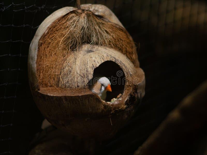 Uccello piccolo di Coconut Husk fotografie stock