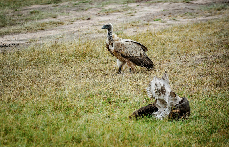 Uccello predatore che fa una pausa il cranio di pregare nella savana, Kenya fotografia stock