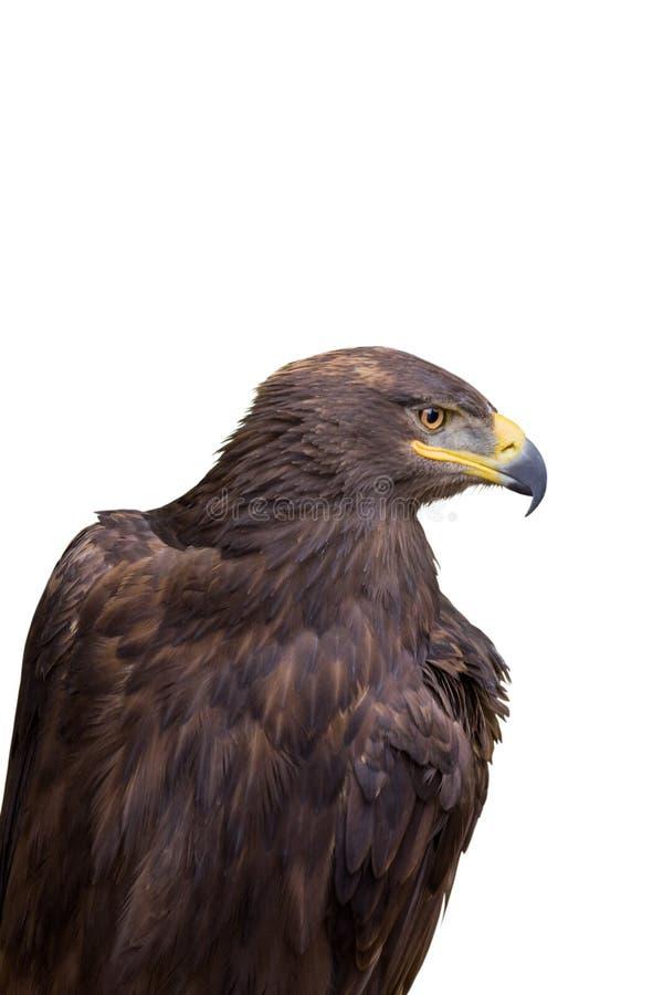 Uccello predatore di caccia Fine in su immagini stock