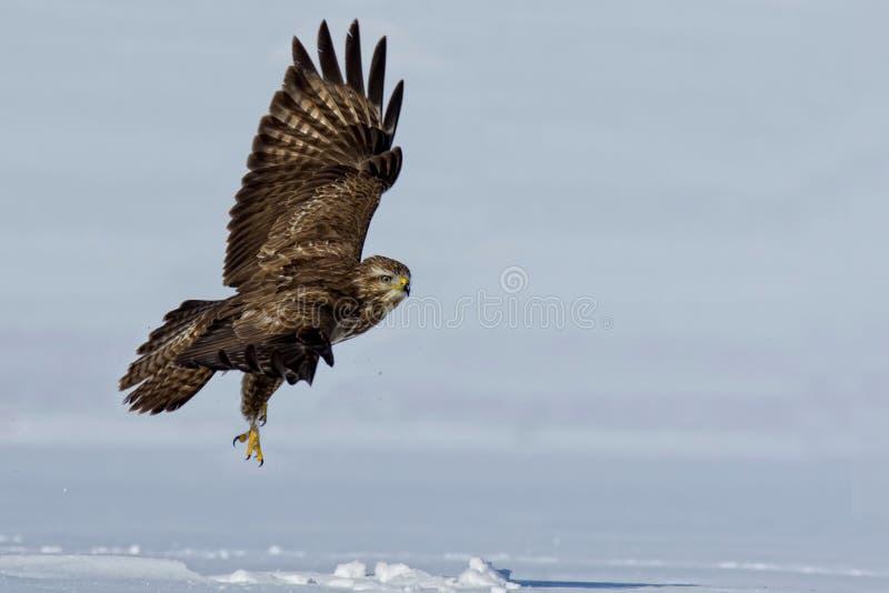 Uccello predatore - poiana comune che sorvola campo innevato fotografie stock