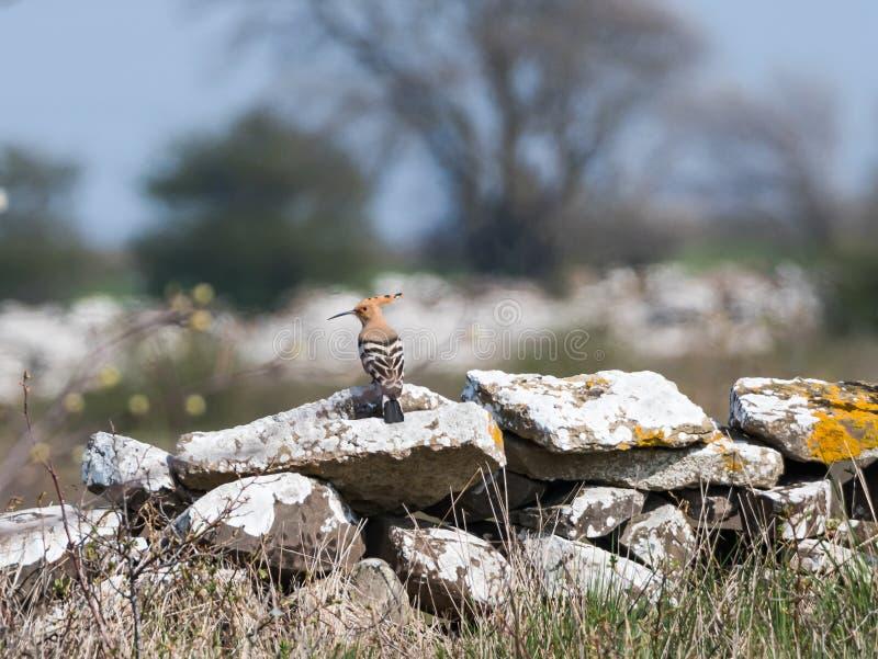 Uccello raro dell'upupa euroasiatica che visita l'isola svedese Oland fotografie stock libere da diritti