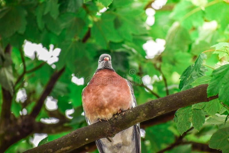 Uccello rosso della tortora dal collare orientale che sta su un ramo di albero da solo e tranquillamente fotografia stock libera da diritti