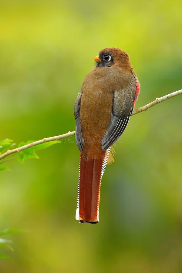Uccello rosso e marrone nell'habitat della natura, Bellavista, Ecuador di personatus mascherato di Trogon, di Trogon, Uccello nel immagine stock