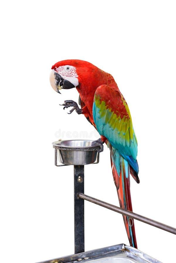 Uccello Rosso e verde variopinto dell'ara isolato fotografia stock libera da diritti