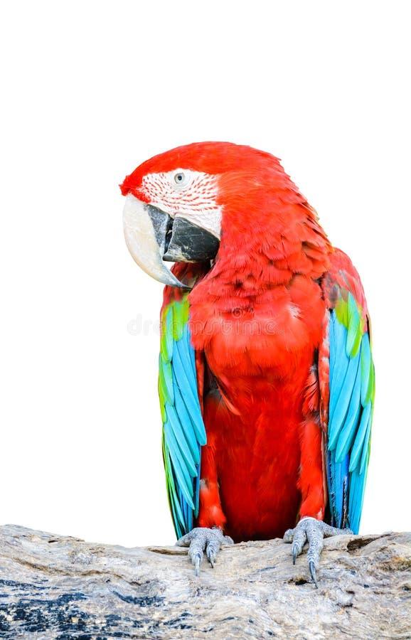 Uccello Rosso e verde variopinto dell'ara isolato su fondo bianco fotografia stock