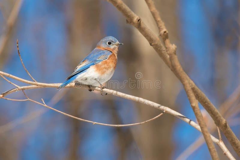 Uccello rosso orientale - Sialia sialis fotografie stock libere da diritti