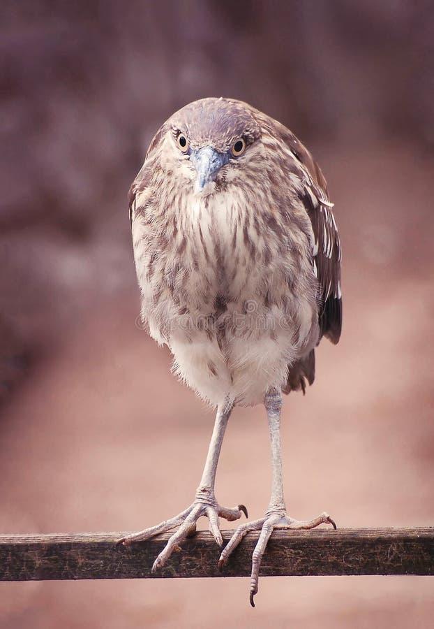 Uccello rotondo divertente fotografia stock libera da diritti