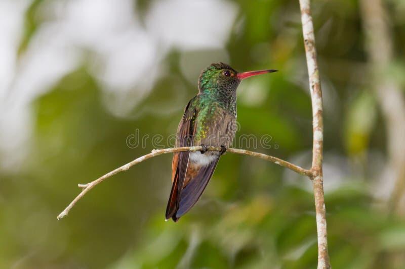 Uccello Rufous di ronzio fotografia stock libera da diritti