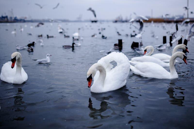 Uccello selvaggio che galleggia su un Mar Nero, Odessa fotografia stock