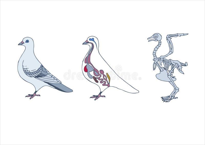 uccello, sezione trasversale e scheletro illustrazione vettoriale