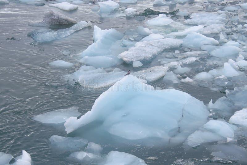Uccello solo che si siede su un blocco di ghiaccio alla laguna del ghiacciaio di Jokulsarlon, Islanda immagine stock