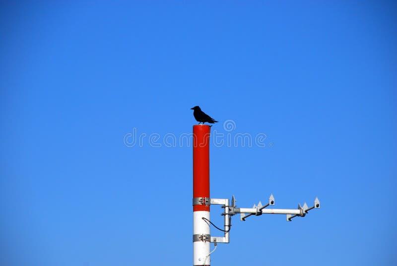 Uccello solo di un corvo fotografie stock