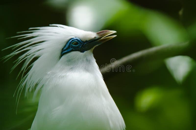 Uccello starling del Bali fotografia stock libera da diritti