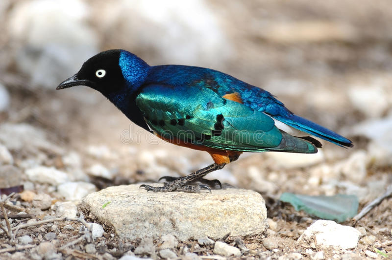 Uccello starling superbo in Serengeti, Africa immagine stock