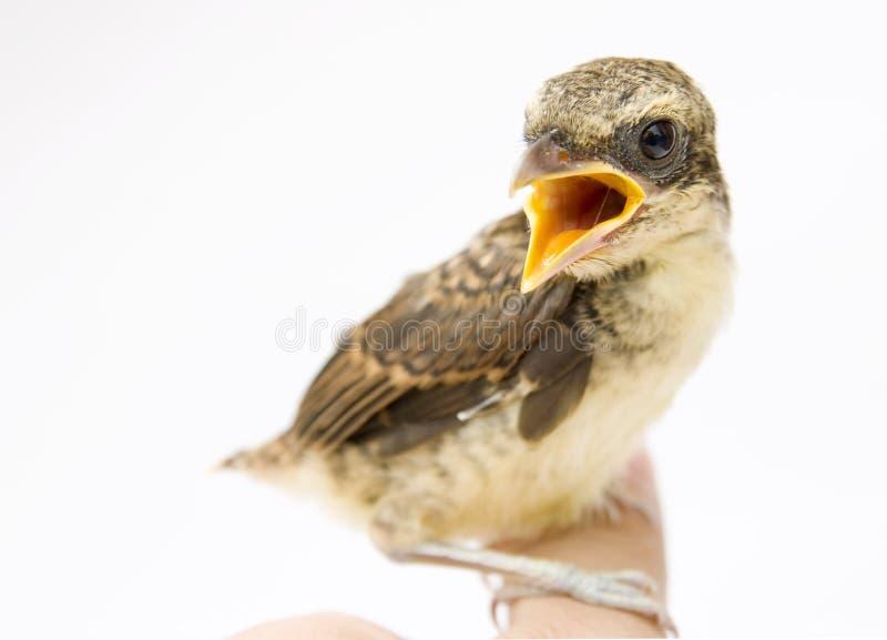 Uccello su priorità bassa bianca fotografia stock libera da diritti