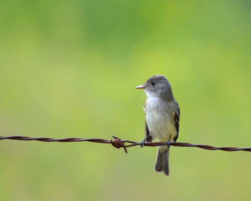 Uccello su un collegare immagine stock