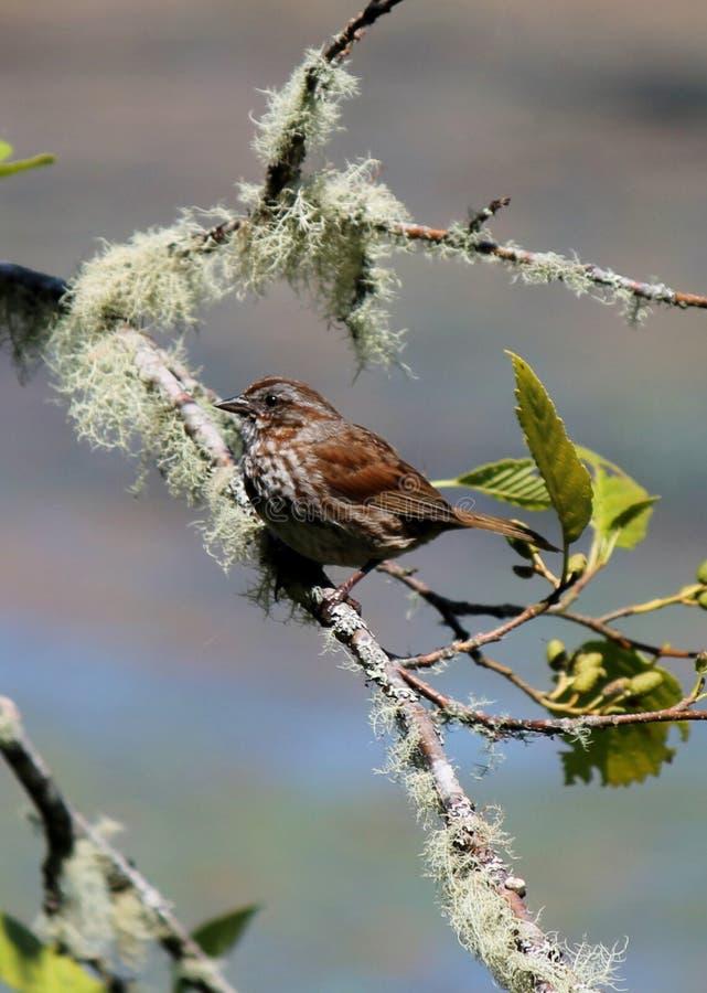 Uccello sul ramo muscoso immagini stock