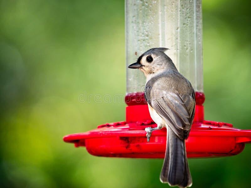 Uccello sull'alimentatore dell'uccello di ronzio immagine stock libera da diritti