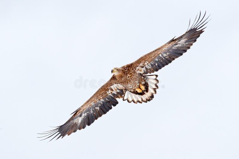 Uccello sull'aquila dalla coda bianca di volo del cielo, albicilla del Haliaeetus, Hokkaido, Giappone Scena della fauna selvatica fotografia stock libera da diritti