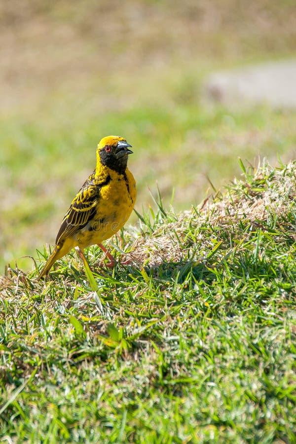Uccello sull'erba immagini stock