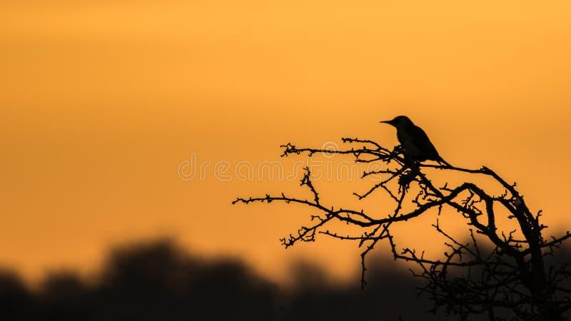 Uccello sulla siluetta dell'albero fotografia stock libera da diritti