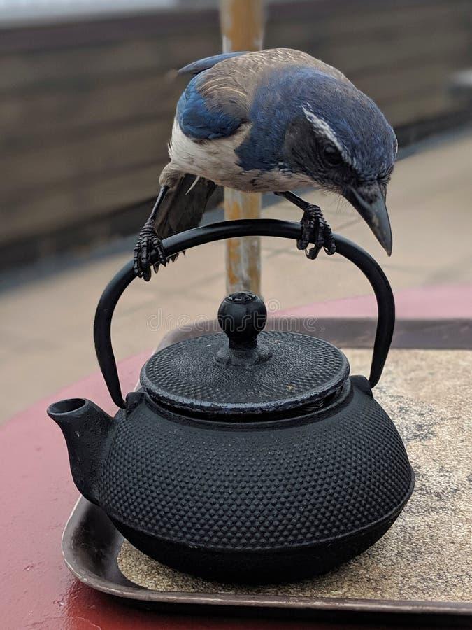 Uccello sulla teiera fotografia stock libera da diritti