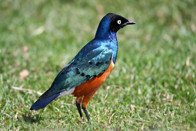 Uccello superbo di Starling fotografia stock libera da diritti