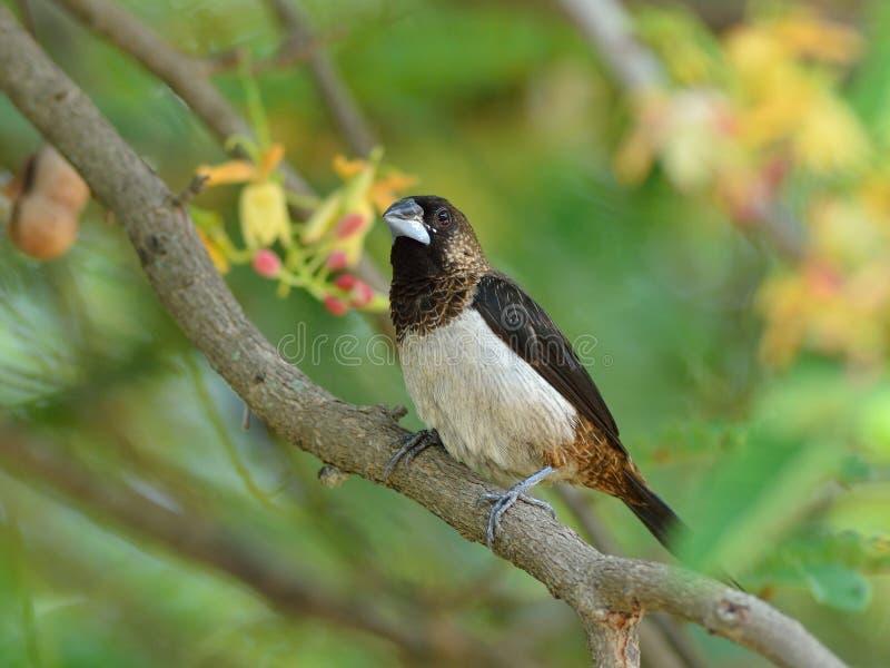 Uccello, Tailandia fotografie stock