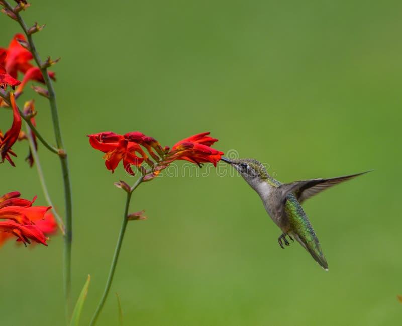 Uccello throated vermiglio di ronzio immagine stock