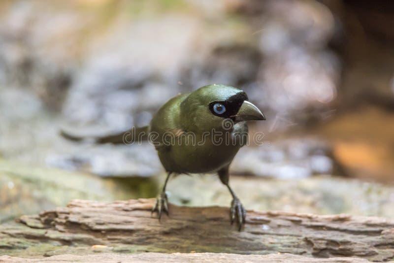 Uccello (Treepie Racchetta-munito) in un selvaggio immagine stock libera da diritti
