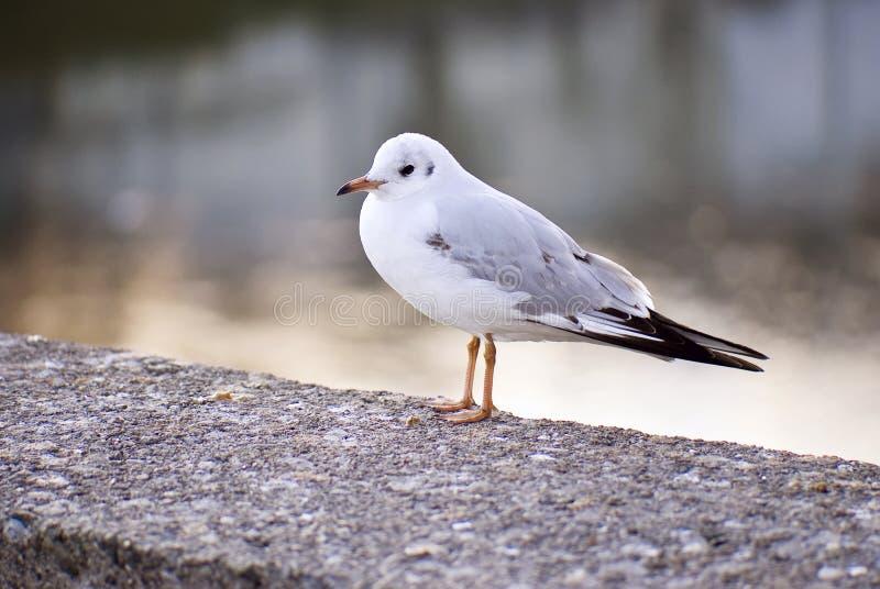 Uccello triste del gabbiano alla luce di sera fotografia stock