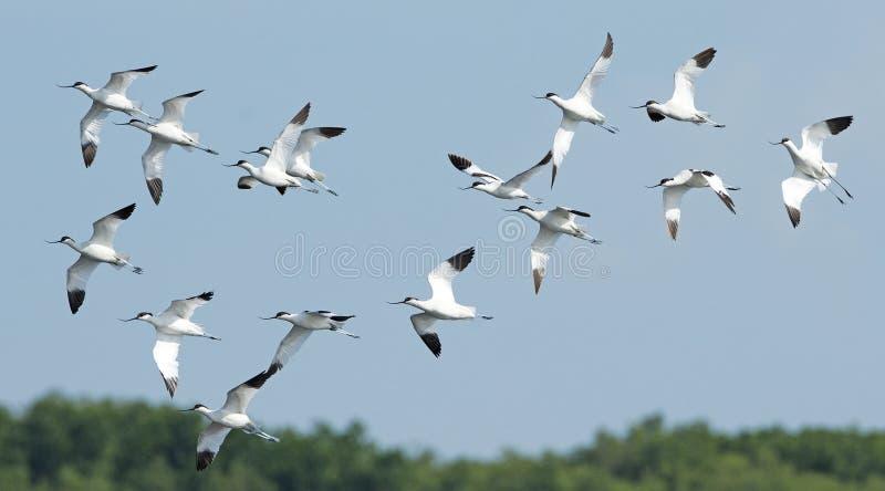 Uccello, uccello della Tailandia, avocetta pezzata degli uccelli di migrazione fotografia stock
