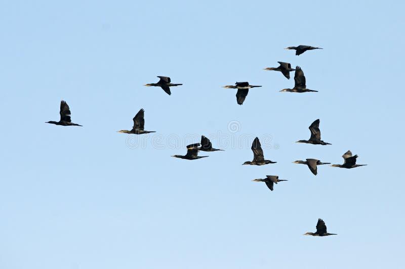Uccello, uccello della Tailandia, indiano Cormorant degli uccelli di migrazione fotografie stock
